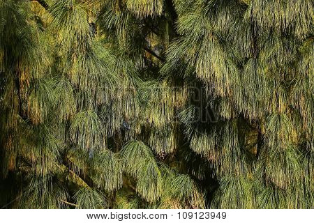 Beautiful Pine Needles With Cones
