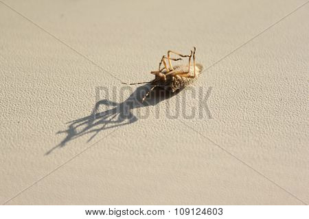 Cockroach_Insect