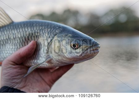 Chub in fisherman's hand, close-up