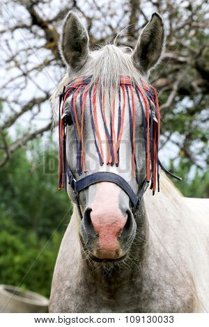 Portrait Of A Grey Colored Arabian Horse Rural Scene