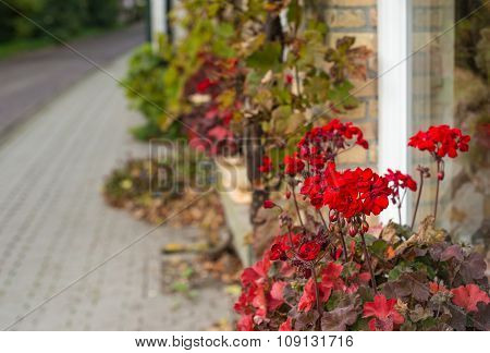 Red Flowering Geraniums At The Facade Of A House