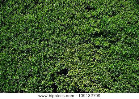 Green beautiful smelling moss texture.
