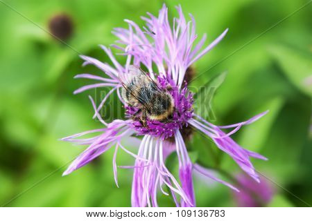 Bumble-bee On A Pink Flower