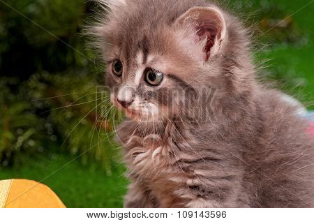 Close-up portrait of a cute gray small kitten