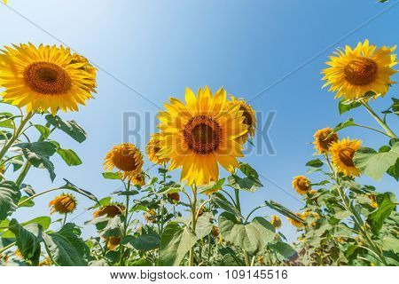 bottom view to sunflower on field