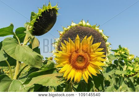 flower of sunflower and black with seeds on background