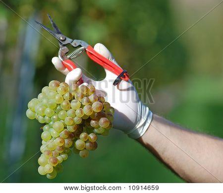Fresh Harvested Grape