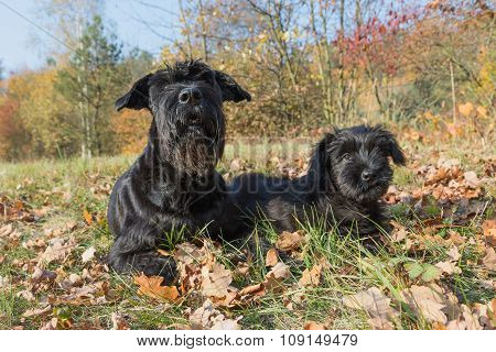 Pair Of The Giant Black Schnauzer Dog