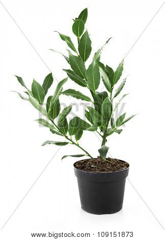 Fresh tree with bay leaves in flowerpot, isolated on white