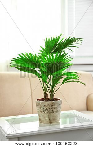 Palm tree (Livistona Rotundifolia) in flowerpot on table at home