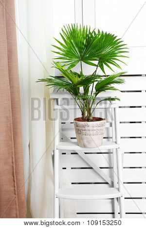 Palm tree (Livistona Rotundifolia) in flowerpot on ladder at home