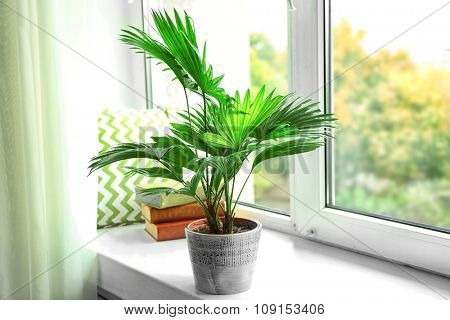 Palm tree (Livistona Rotundifolia) in flowerpot on windowsill at home