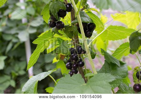 Bush of black currants