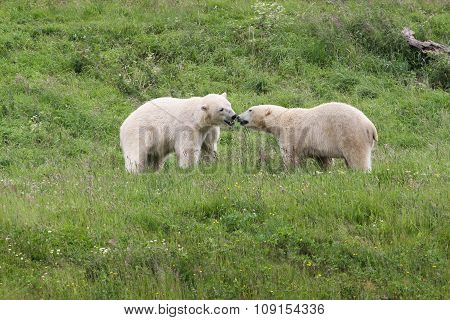 Polar bears in the nature