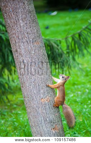 Squirrel Climbing The Tree