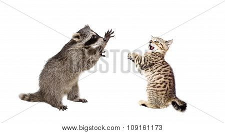 Playful raccoon and frightened kitten Scottish Straight