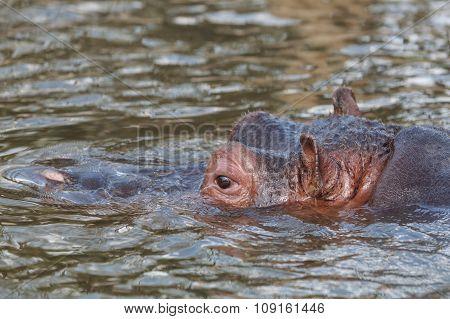 Close Up Of Hippopotamus Swimming