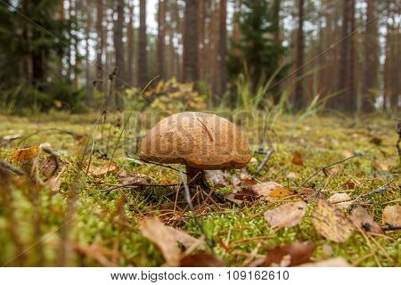 Wild forest mushroom