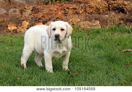 Nice Yellow Labrador Puppy In Autumn