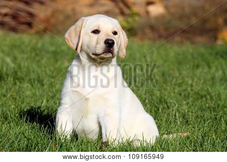 Little Nice Yellow Labrador Puppy In Autumn