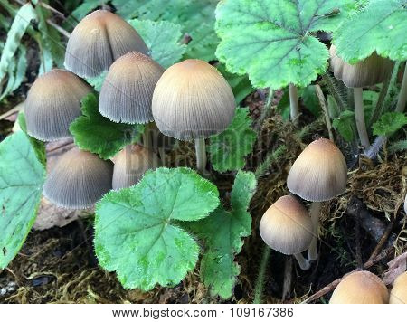 Mica Cap Mushrooms - Coprinellus micaceus
