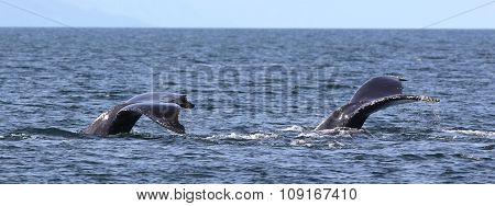 Two Humpback Whale Flukes