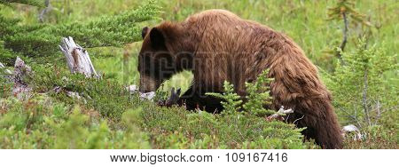 Juvenile Black Bear Foraging