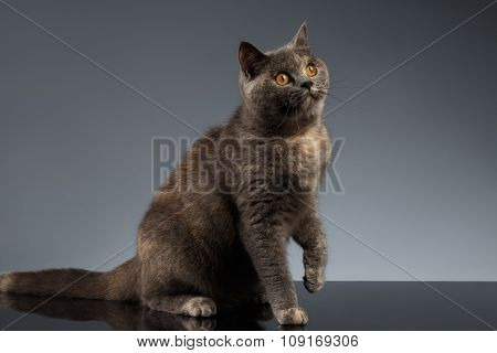 Scottish Cat Sits On Gray Mirror And Looking Up