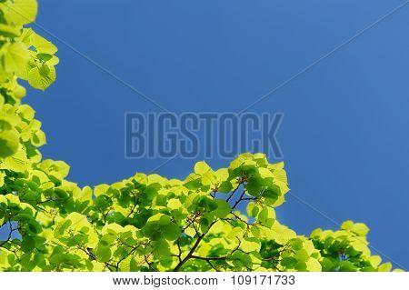 Green Marple Leaves On Clear Sky Background Copyspace