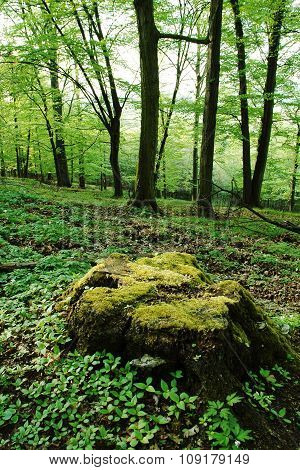 Large tree stump mossy