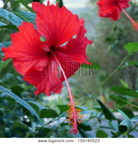 The beautiful red shoe flower (Hibiscus or China rose).
