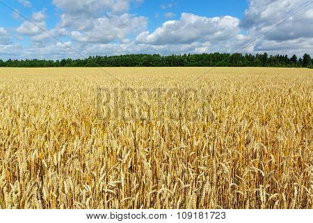 Yellow Wheat Against The Blue Sky