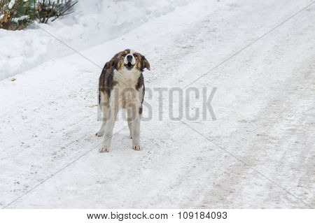 Stray dog is barking on a winter street