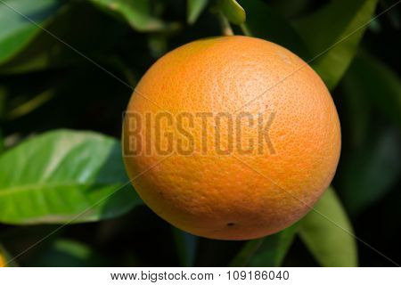 Oranges In A Tree