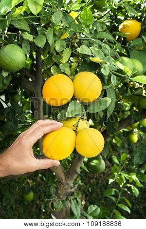 A man snips three ripe lemons from a lemon tree to make lemonade