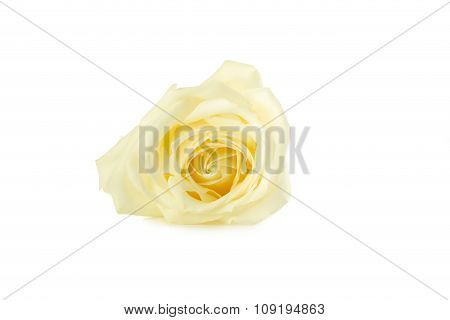White Rose Isolated On A White
