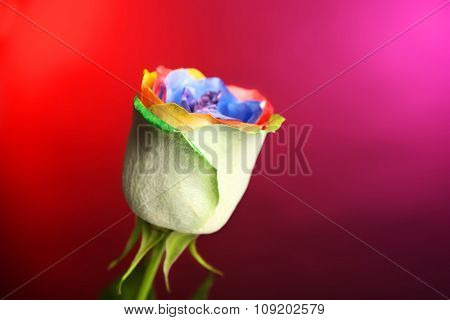 Beautiful painted rose on red-purple background