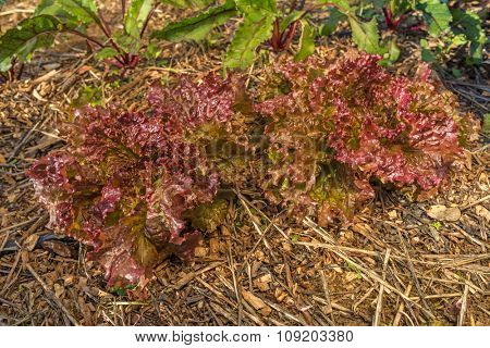 Organic agriculture of purple lettuce with crop rotation