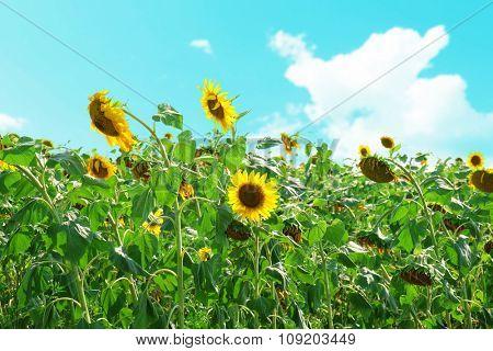 Beautiful sunflowers growing in field