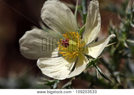 Flower Of Mexican Poppy