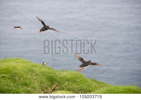 Atlantic Puffins, Fratercula Arctica In Its Colony