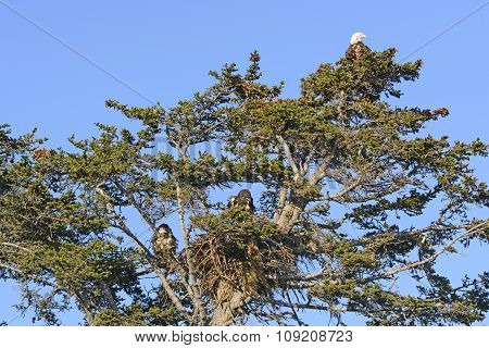 Bald Eagle Nesting Tree With Mother And Two Fledglings