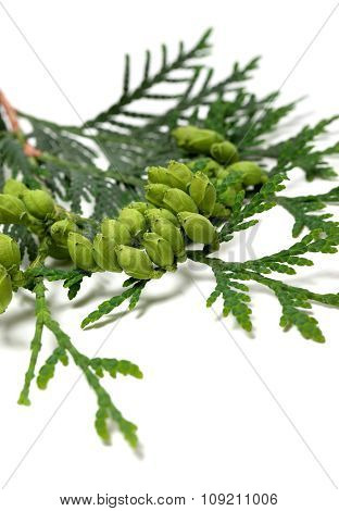 Green Cones On Twig Of Thuja