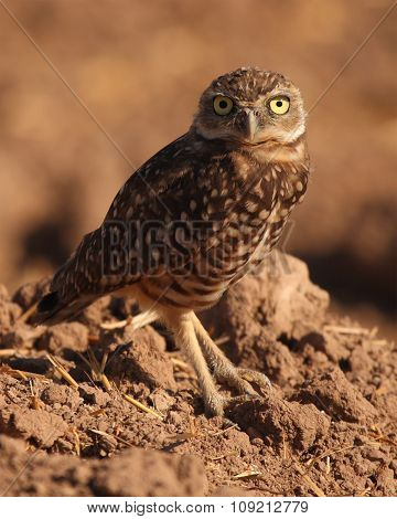 A portrait of a Burrowing Owl looking up outside its burrow in southern California.