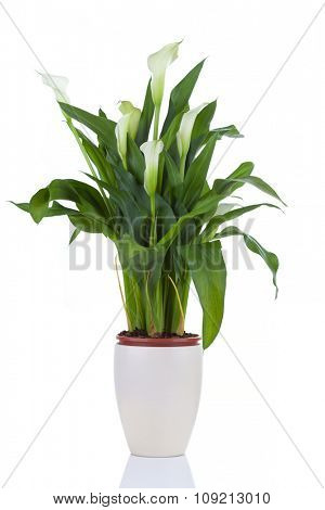Calla lily in a pot, isolated on white