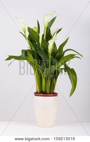 Calla lily in a pot