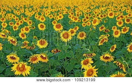 Blooming Sunflower In The Field