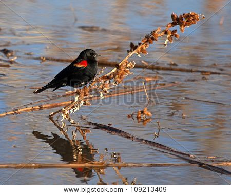 A Red-winged Blackbird resting on a burry perch in New Mexico.