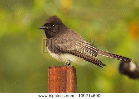 A Black Phoebe Resting On A Post In Southern California.