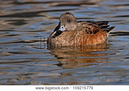 An American Wigeon Female On The Water